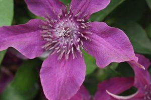 Purple Centre