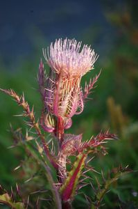 Field Thistle 1 - Red Barn Studio71