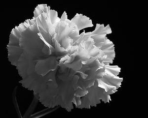 White Carnation Monochrome