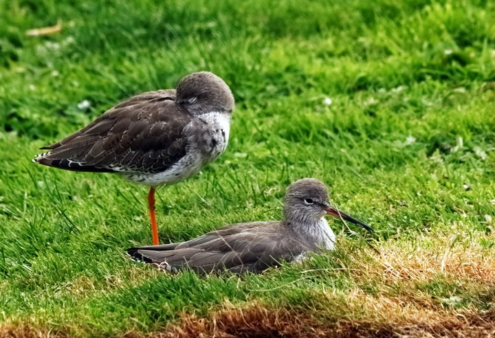 A Pair Of Redshank - JT54Photography