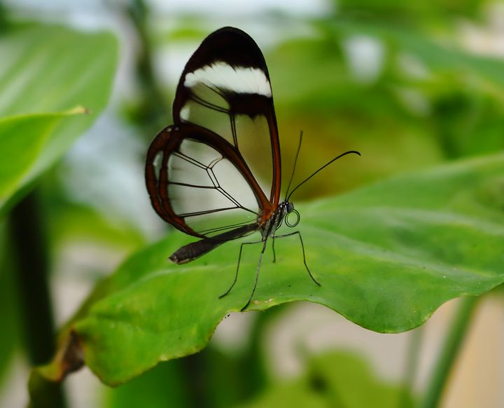 Glasswinged Butterfly - JT54Photography