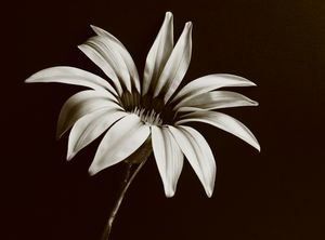 Gazania Monochrome - JT54Photography