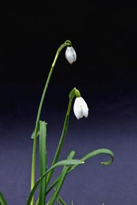 Two Elegant Snowdrops
