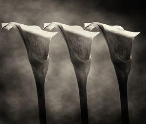 A Trio Of Calla Lilies Monochrome