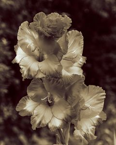 Gladioli Flower Sepia
