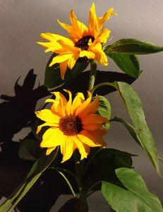 Sunflowers - JT54Photography