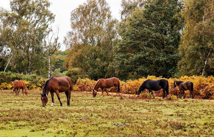 A Group Of New Forest Ponies - JT54Photography