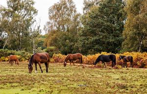 A Group Of New Forest Ponies