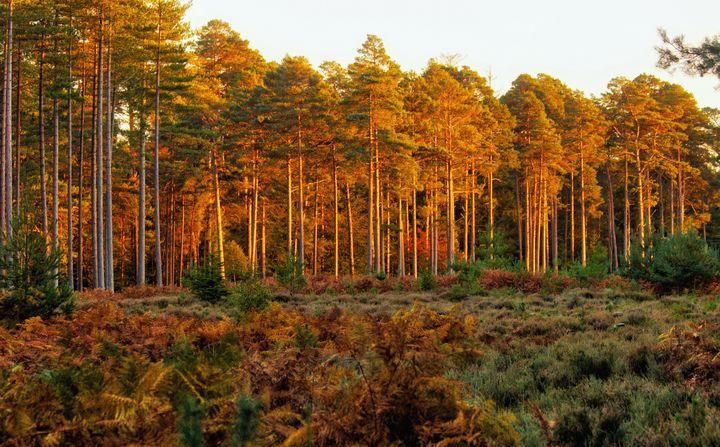 Sunlit Conifers - JT54Photography