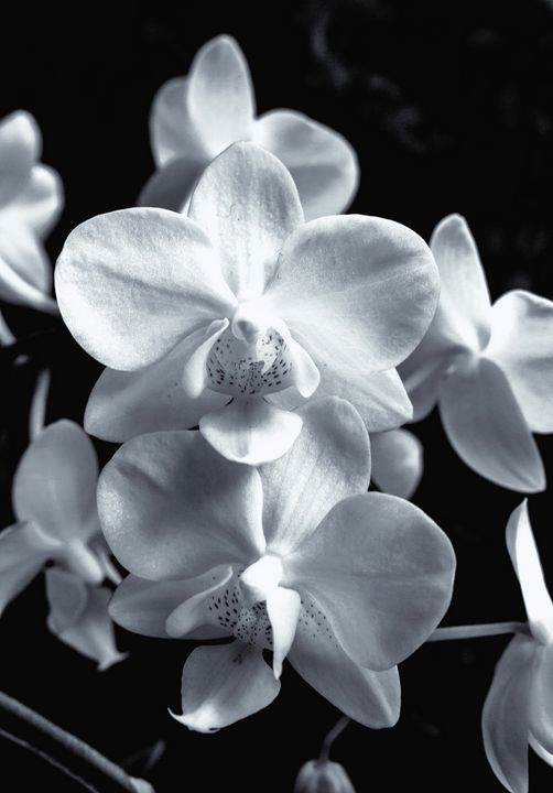 Orchids Black And White - JT54Photography