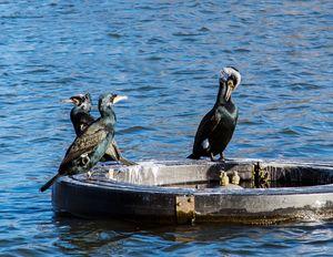 A Trio Of Cormorants