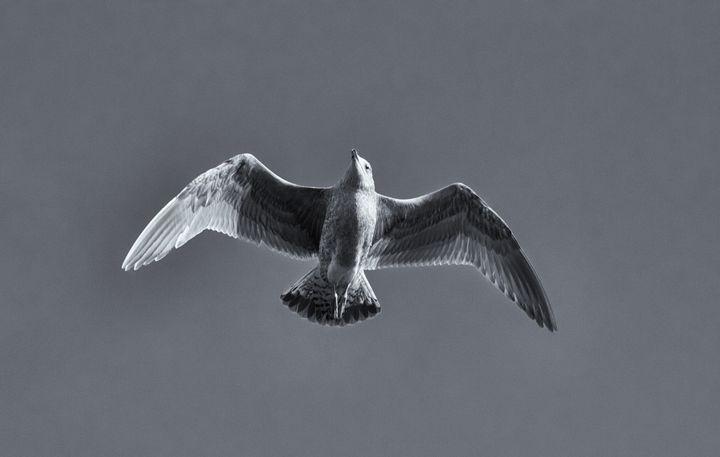 Flying Gull Monochrome - JT54Photography