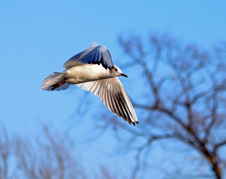 Black Headed Gull Flying - JT54Photography