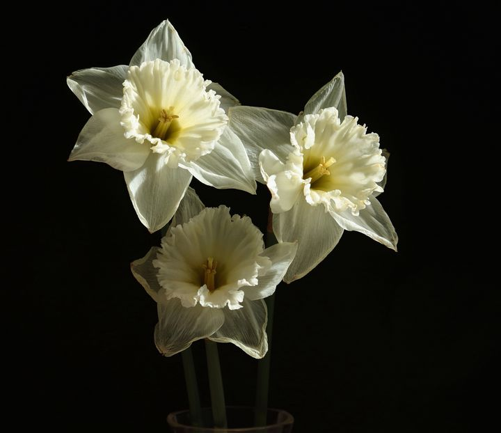 A Trio Narcissus Flowers - JT54Photography