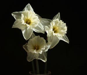 A Trio Narcissus Flowers