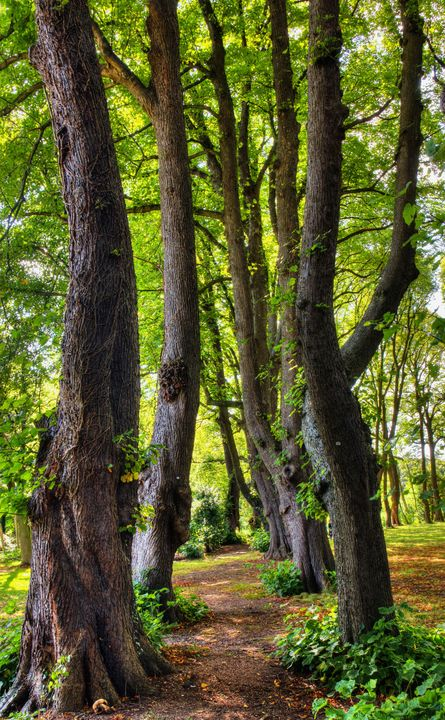 An Avenue Of Lime Trees - JT54Photography