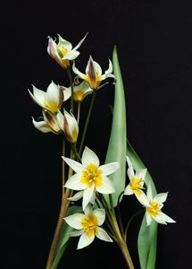 Tulips White And Yellow