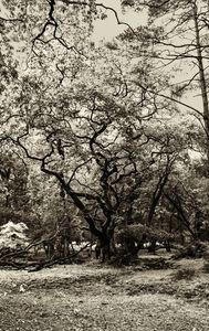 Ancient Woodland Trees