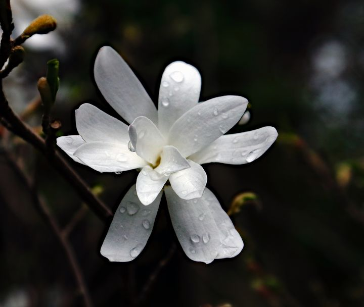 Magnolia With Raindrops - JT54Photography