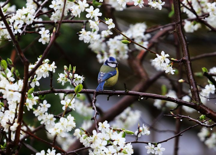 Blue Tit In Blossom - JT54Photography