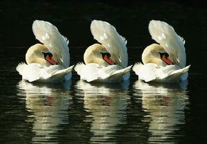 Three Swans Preening