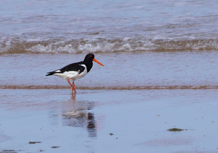 Oystercatcher On The Beach - JT54Photography