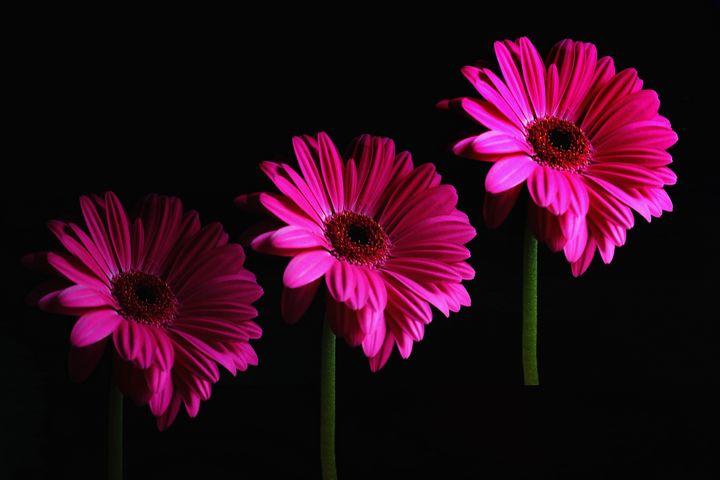 A Trio Of Gerbera Flowers - JT54Photography