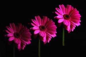 A Trio Of Gerbera Flowers
