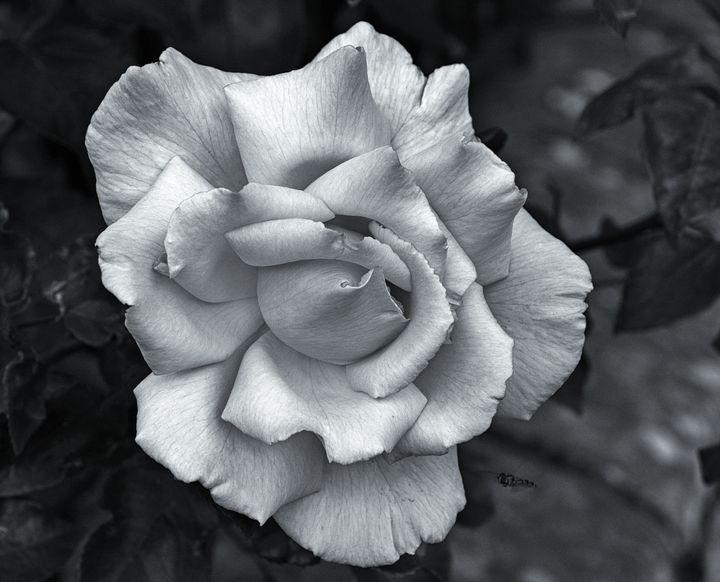 A Single Rose Monochrome - JT54Photography