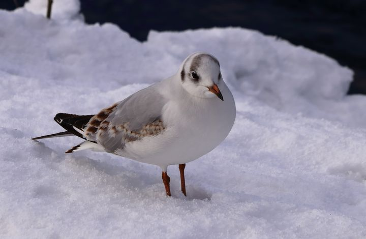 Black Headed Gull in the Snow - JT54Photography