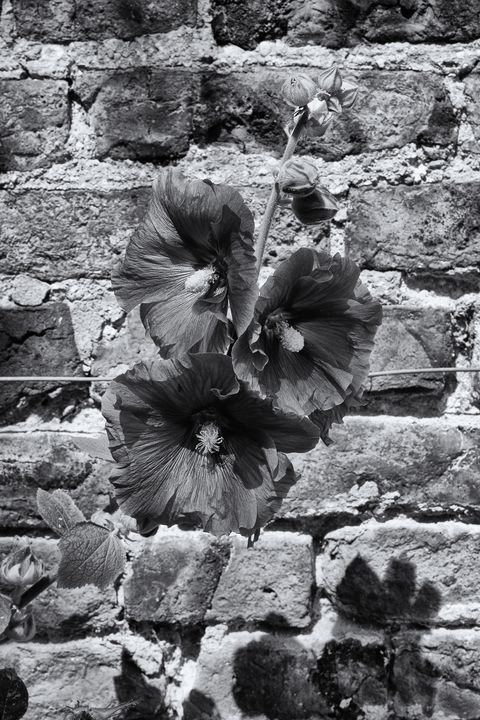 Hollyhocks Monochrome - JT54Photography