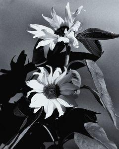 Sunflowers Monochrome