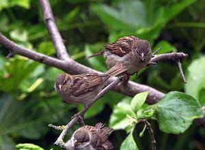 Three House Sparrows
