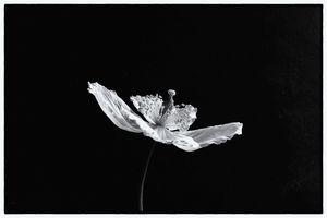 Welsh Poppy Monochrome
