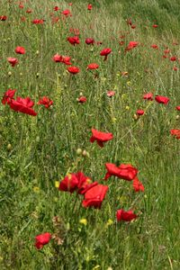 A Hill of Poppies