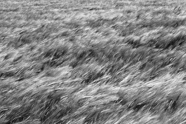A Field Of Barley Monochrome - JT54Photography