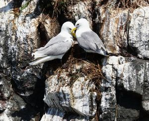 A Pair Of Kittiwake