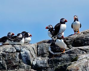 A Group Of Puffins