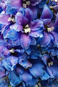 Delphinium And Raindrops