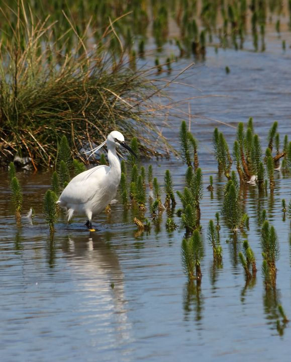 Little Egret - JT54Photography