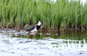 Lapwing in the Lake