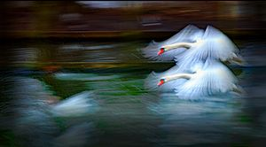 Flying Swans Abstract - JT54Photography