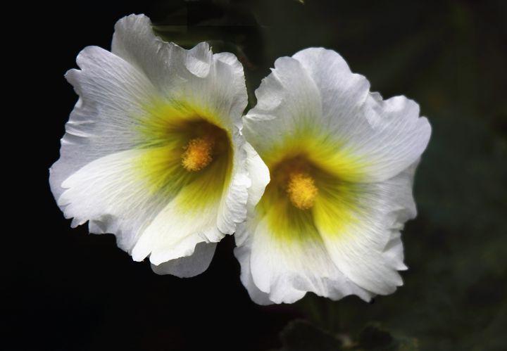 Hollyhock Flowers - JT54Photography
