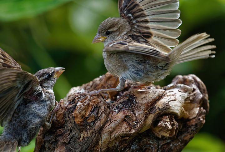Sparrow Dispute - JT54Photography
