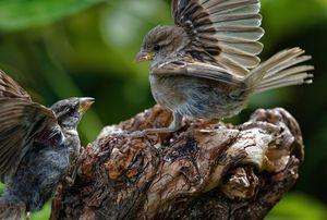 Sparrow Dispute
