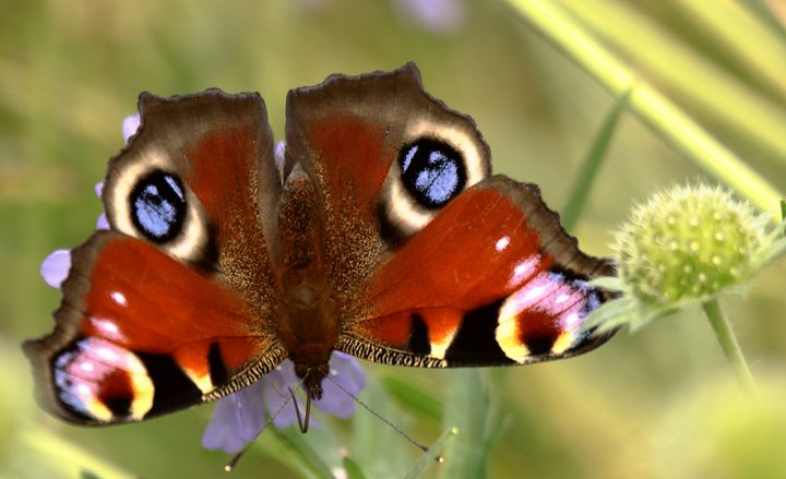 Peacock Butterfly - JT54Photography