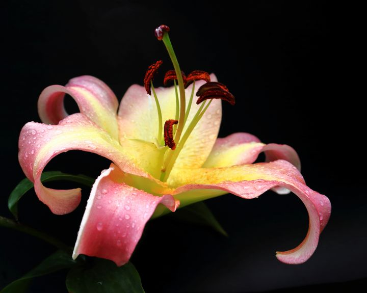 Lily And Raindrops - JT54Photography