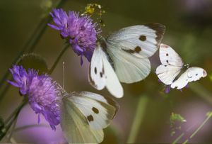 Three Small White Butterflies