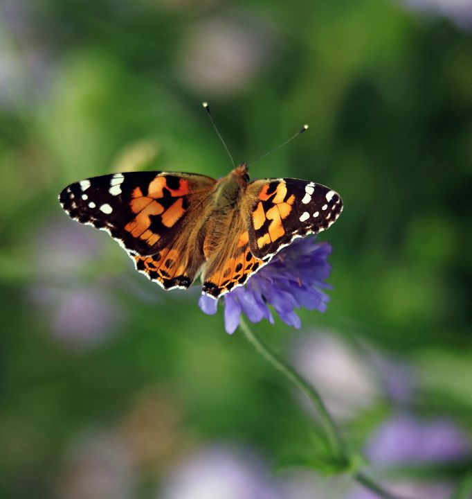 Painted Lady Butterfly - JT54Photography