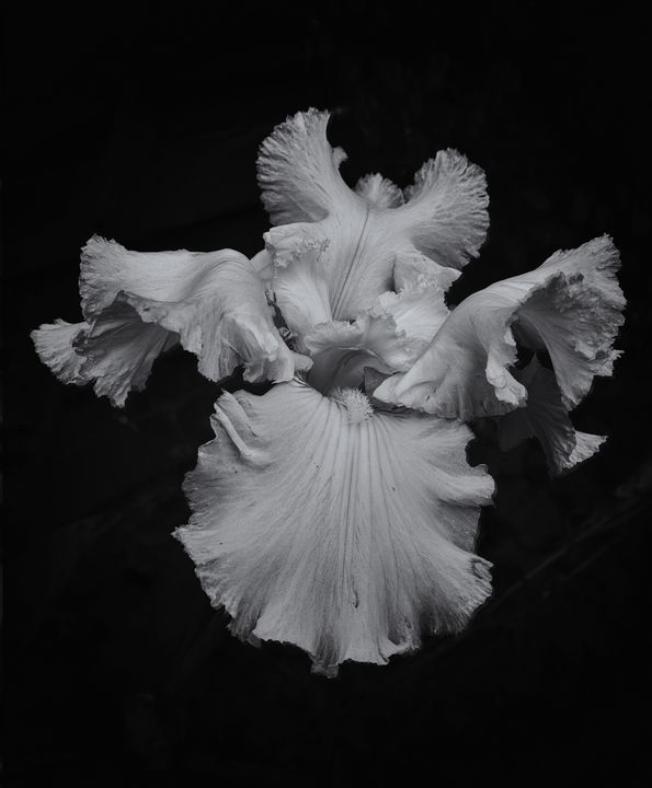 Bearded Iris Black And White - JT54Photography